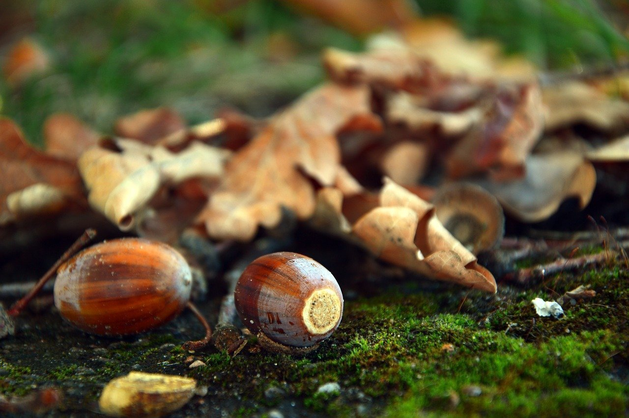 tips for cleaning up acorns