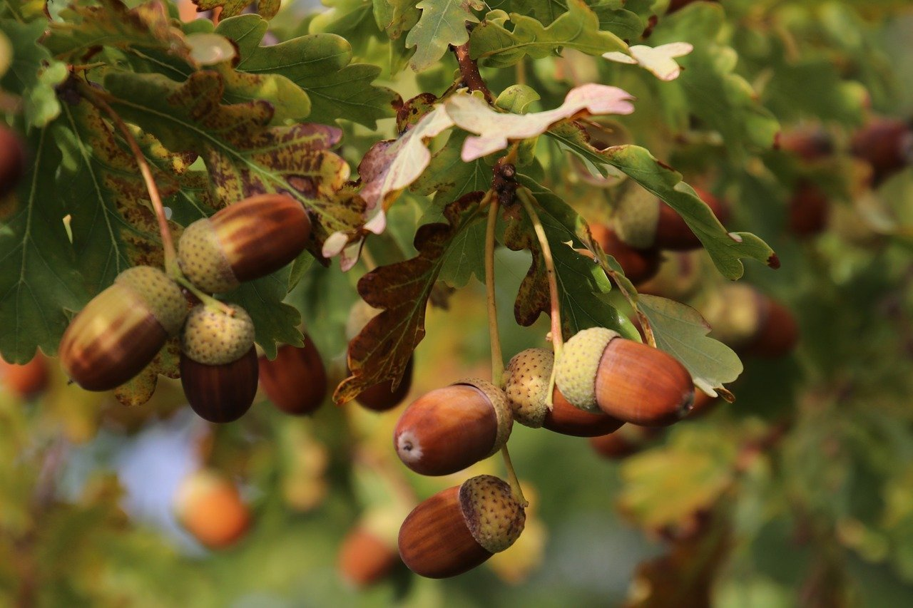 oak tree bearing acorns