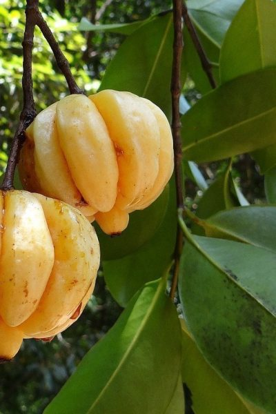 A Guide About Garcinia Cambogia And Its Benefits