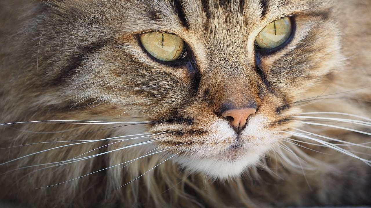 Traits Shared Between Domestic and Wild Cats