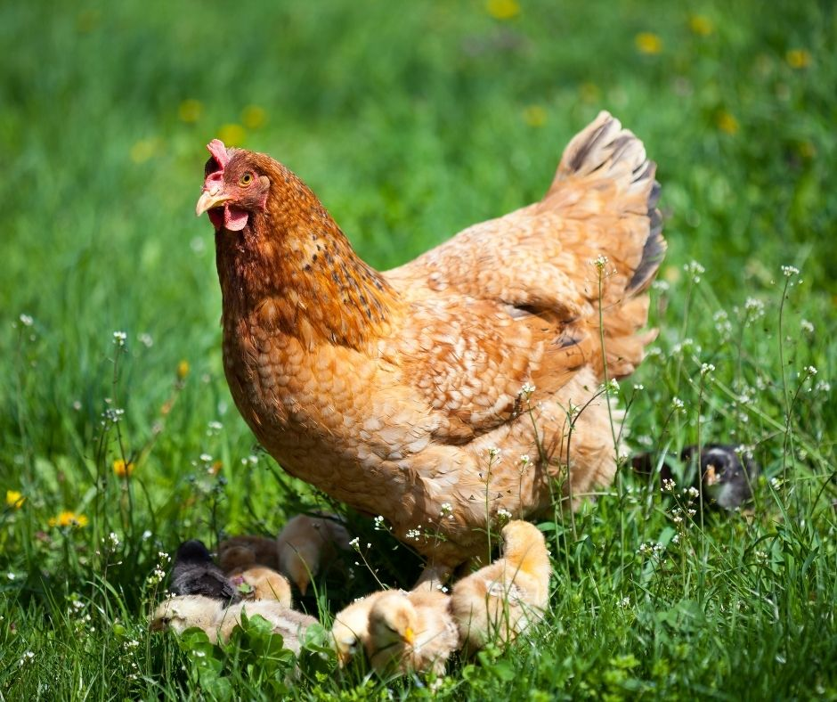 3 Things to Do Before Starting a Chicken Farm