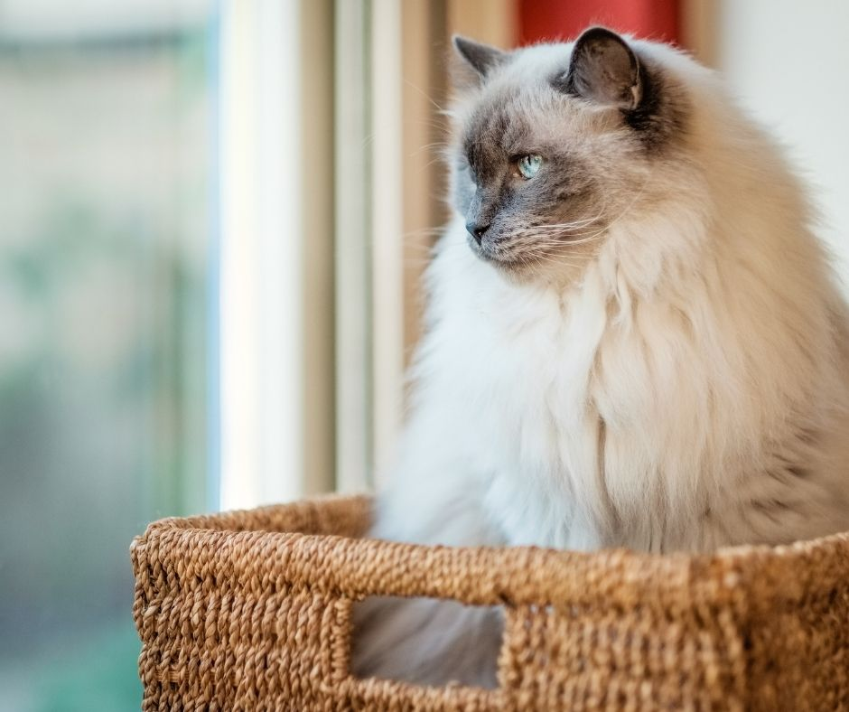 Popular Cat Breeds You Should Own
