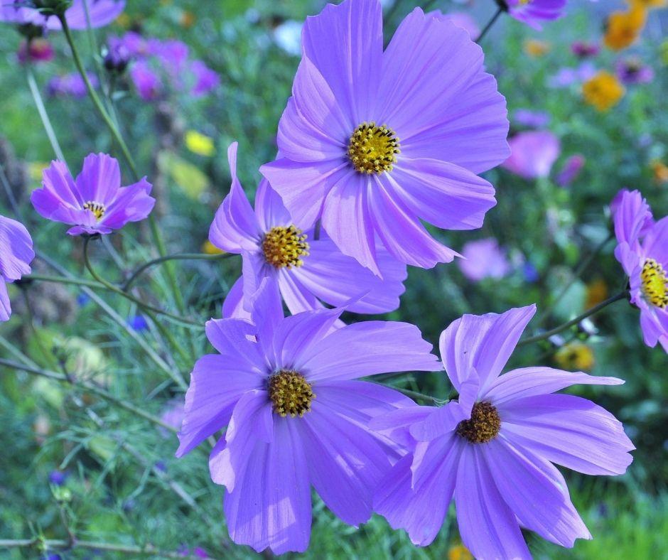 True Beauty: 6 Benefits of Growing Balkan Anemones Flower in your Garden