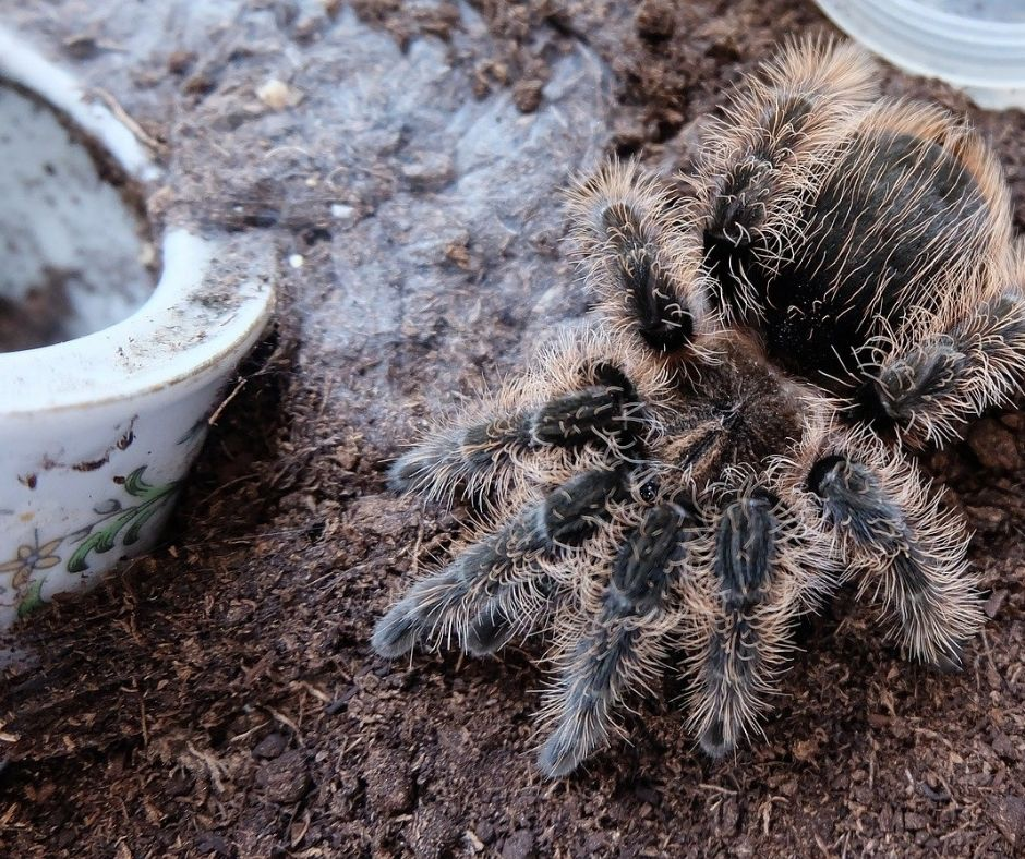 Profile of the Curly Hair Tarantula