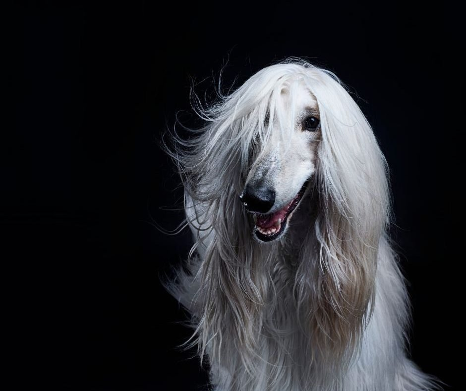 Canine Covergirls - 5 of the Most Beautiful Dog Breeds