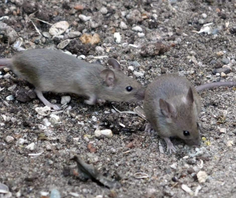 How to Identify A Rodent Infestation At Your Place?