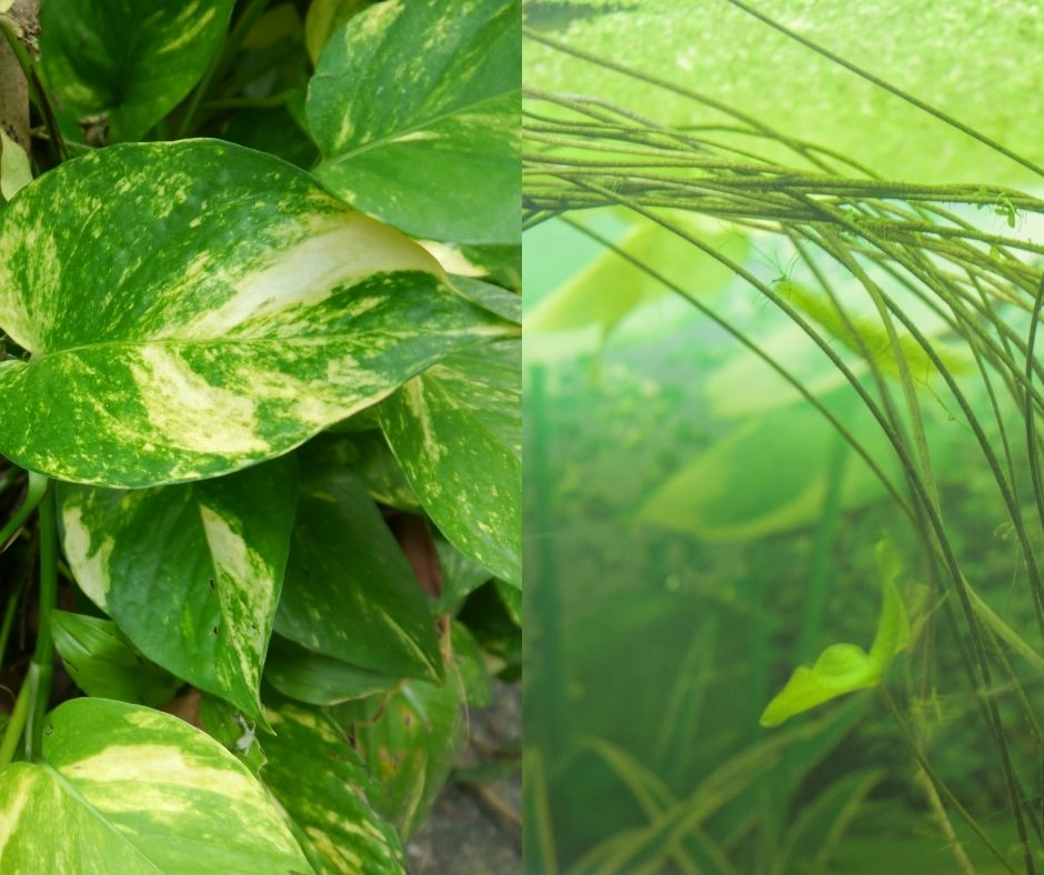 Is a Pothos Plant Good For Your Aquarium and Home?