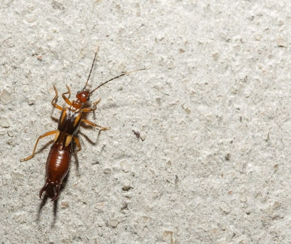 What are Earwigs? How Can You Keep Them From Entering Your Place?