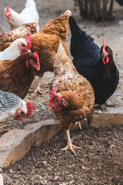 4 Surprising Benefits of Owning and Raising Chickens on Your Farm(or Home)