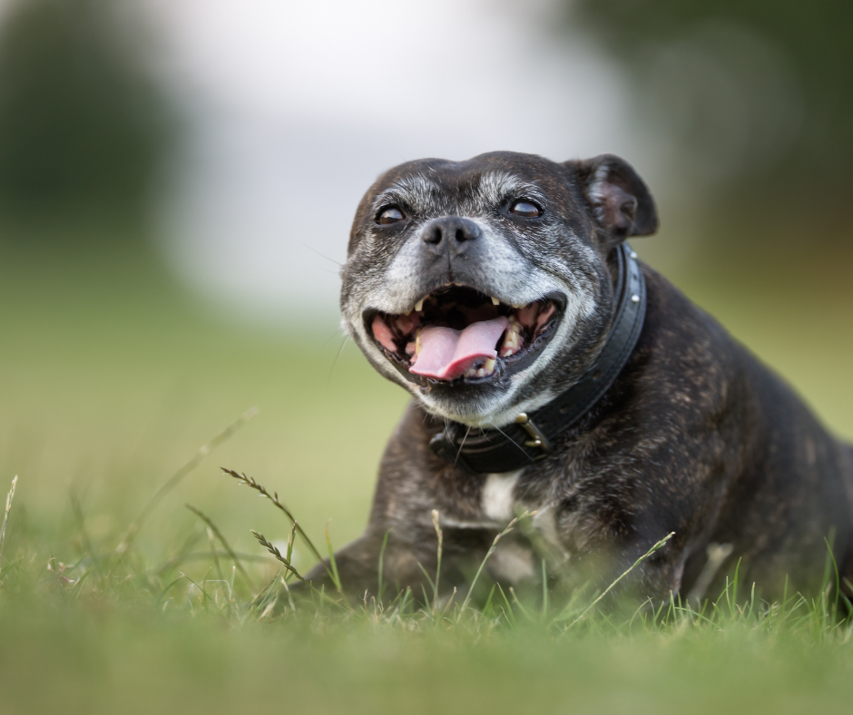 7 Accessories That Can Help You Take Better Care of Your Senior Dog