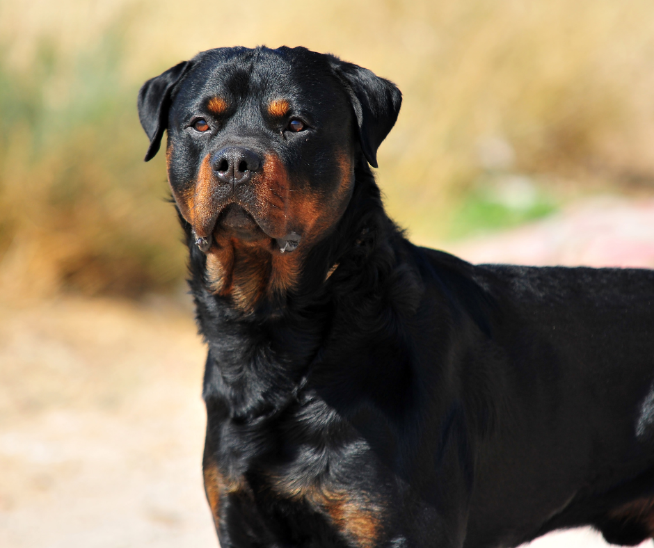 Some Things You Should Know About Raising Rottweilers
