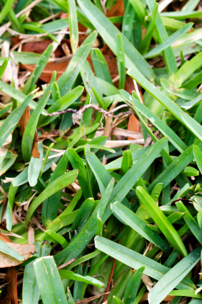 How to Pull Up St Augustine Grass