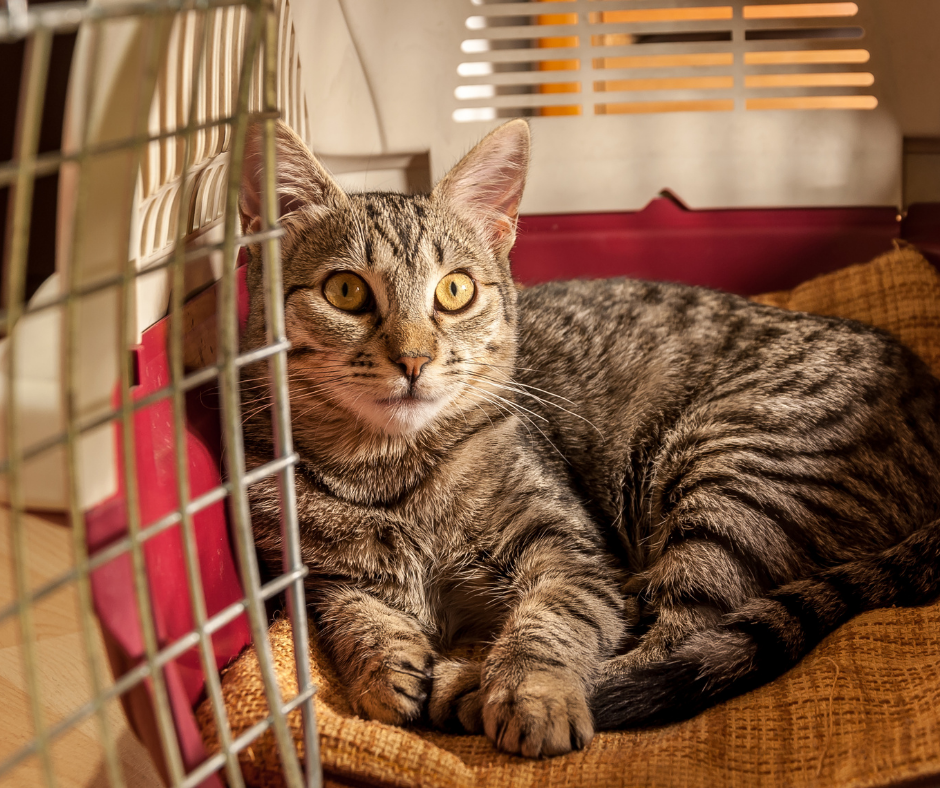 What You Need to Know Before Taking Your Cat on a Plane