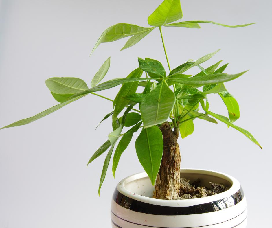 8 Benefits of Pachira Aquatica or Money Tree Plant
